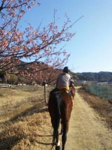 田園桜開花状況